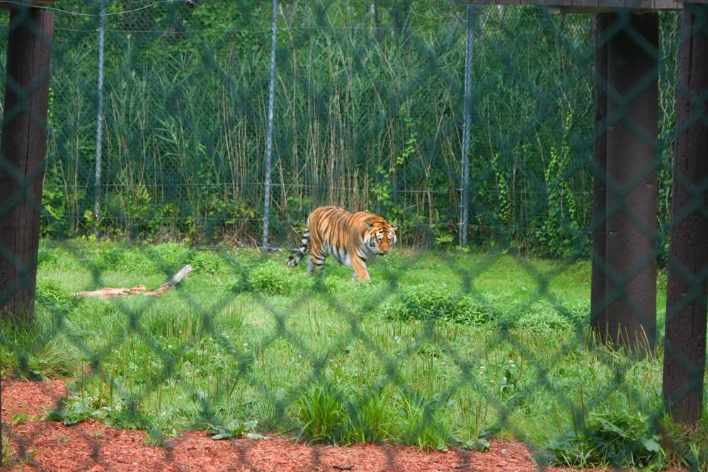 tiger York's Wild Kingdom