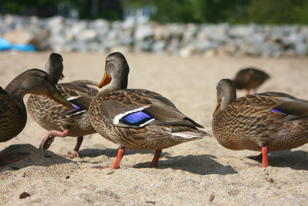 Ellis Pond Ducks